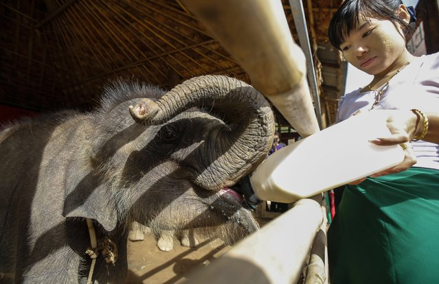 Mary, 8-months-old female orphan elephant, drinks milk at Winga Baw Elephant Conservation Camp during the ceremony to mark World Elephant Day at Bago Region, Myanmar, 12 August 2017. (Photo by Lynn Bo Bo/EPA/EFE)