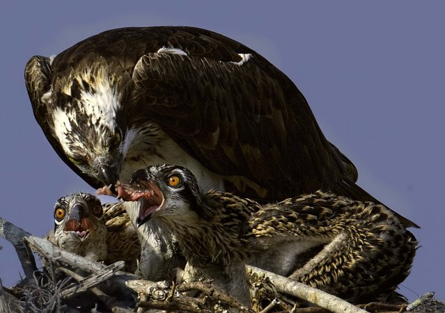 "Honorable Mention, Animals. ""Lunch Time At The Osprey Diner"". (Photo by David Bates/The Palm Beach Post)"
