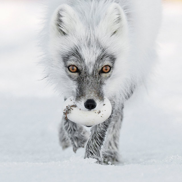 Arctic treasure by Sergey Gorshkov (Russia). An arctic fox carries its egg trophy from a raid on a snow goose nest and heads for a suitable burial spot. Finalist 2017, Animal Portraits. (Photo by  Sergey Gorshkov/2017 Wildlife Photographer of the Year)