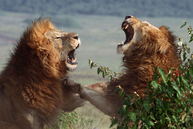 These amazing pictures show the ROAR aggression of two lions as they brutally fight to be the King of the Jungle. The two male lions, who are actually brothers, were captured fighting on camera by Laurent Renaud and Dominique Haution both 55-year-old teachers from northern France, who are seasoned safari photographers. (Photo by Laurent Renaud/Caters News)