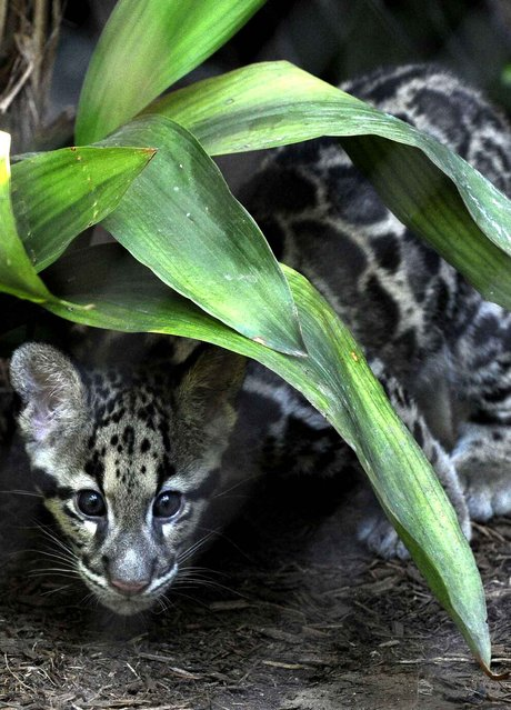 Clouded leopard cub Koshi peeks out from under a plant in his public debut at the Houston Zoo Thursday, September 11, 2014, in Houston. The cub and his brother were born June 6 at the zoo. (Photo by Pat Sullivan/AP Photo)
