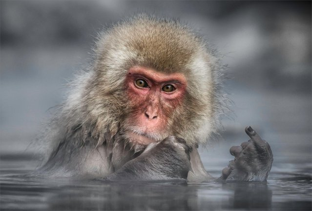 Japanese Macaque, or Snow Monkey seen at Jigokundani Monkey Park, near Nakano in Japan. (Photo by Linda Oliver/Comedy Wildlife Photography Awards/Barcroft Media)