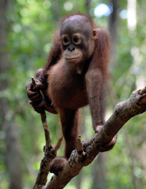"""This picture taken on August 4, 2016 shows an orphan orangutan baby playing in a tree during """"jungle school"""" at the International Animal Rescue centre outside the city of Ketapang in West Kalimantan. (Photo by Bay Ismoyo/AFP Photo)"""