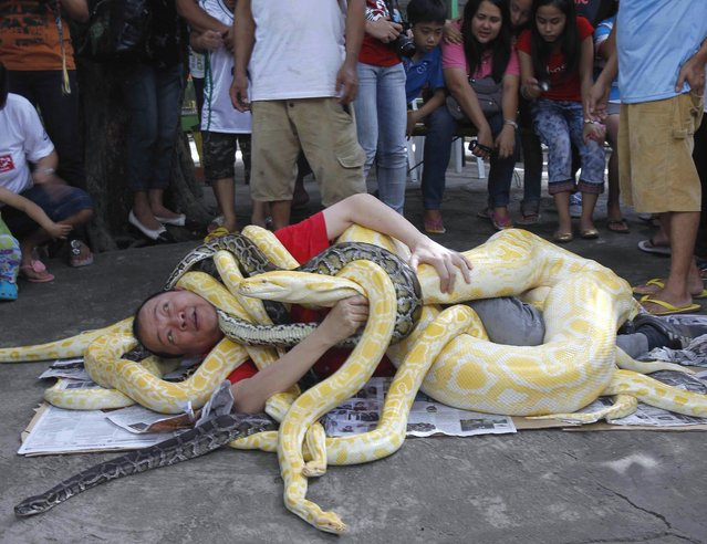A man is seen wrapped with pythons, some which include the Albino Burmese Python, as part of a show celebrating the coming Year of the Snake in the Chinese calendar, while spectators look on, in Malabon city, north of Manila, Philippines, December 28, 2012. (Photo by Romeo Ranoco/Reuters)