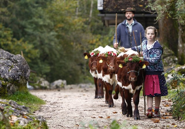 Bavarian farmers bring their cows to a boat to be transported over the picturesque Lake Koenigssee on October 6, 2014. (Photo by Michaela Rehle/Reuters)