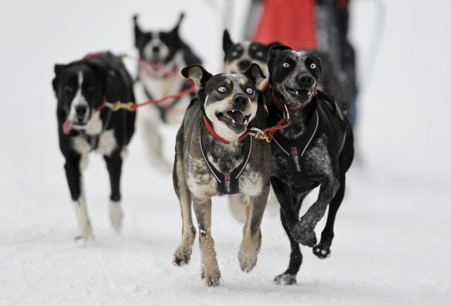 A racer and his sleddogs take part in the Border Rush Race in The Giant Mountains National Park, in Jakuszyce, January 10, 2013. Border Rush is an international sleddog race run which starts in Jakuszyce in the Czech-Poland border region. (Photo by Pawel Sosnowski/Reuters photo)