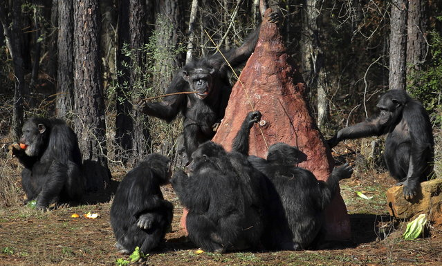 Chimps use sticks to poke into a mock termite mound to taste a sweet substance placed in the mound by keepers at Chimp Haven in Keithville, La., Tuesday, February 19, 2013. One hundred and eleven chimpanzees will be coming from a south Louisiana laboratory to Chimp Haven, the national sanctuary for chimpanzees retired from federal research. (AP Photo/Janet McConnaughey)