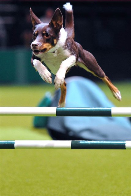 A dog performs a jump during the agility competition on March 10, 2013, the fourth day of the Crufts dog show in Birmingham, England. (Photo by Carl Court/AFP Photo)