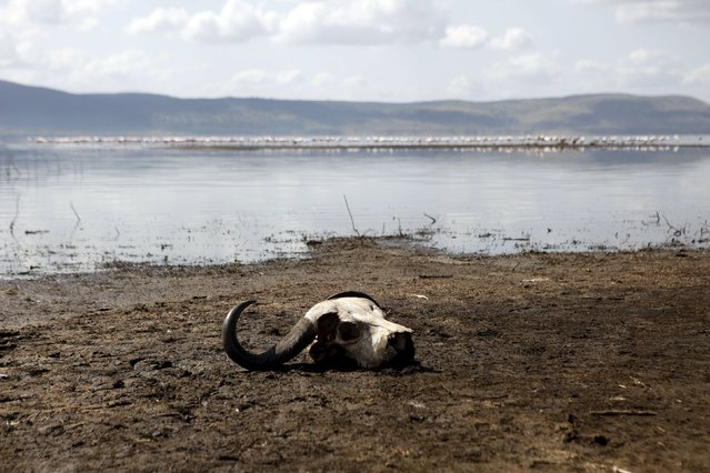 A buffalo skull is seen next to the water at Lake Nakuru National Park, Kenya, August 19, 2015. (Photo by Joe Penney/Reuters)