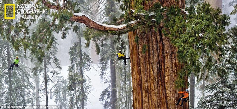 "Tree ""The President"""