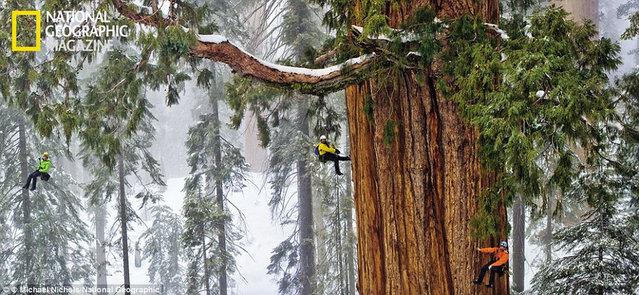 Tree 'The President'