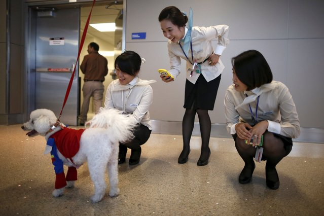 Korean Air flight attendants photograph a therapy dog dressed in a Superman Halloween costume, as part of a program to de-stress passengers at the international boarding gate area of LAX airport in Los Angeles, California, United States, October 27, 2015. (Photo by Lucy Nicholson/Reuters)