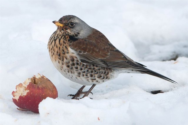 A fieldfare sits next to an apple in a snow-covered garden in Eichwalde, Germany, on March 26, 2013. (Photo by Tim Brakemeier/AFP Photo)