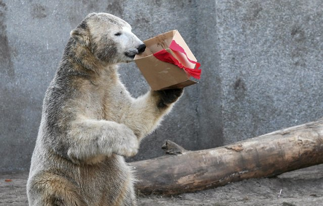 A polar bear plays with a carton box presented to it during its fourth birthday in Warsaw zoo December 2, 2014. (Photo by Kuba Atys/Reuters/Agencja Gazeta)