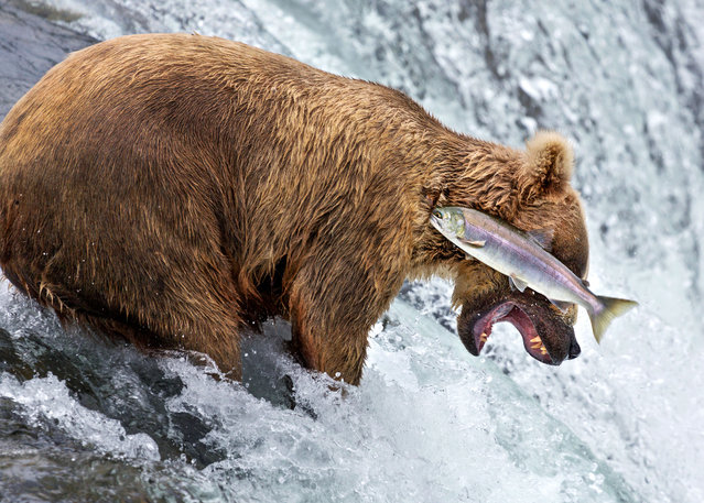 A grizzly bear doing a bad job of catching a salmon at Brooks Falls in Katmai National Park, Alaska, July, 2014. (Photo by Rob Kroenert/Barcroft Images/Comedy Wildlife Photography Awards 2016)