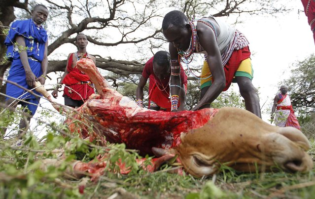 A Maasai moran athlete slaughters a cow as part of preparations for the Maasai Olympics 2014 at the Sidai Oleng wildlife sanctuary at the base of Mt. Kilimanjaro near the Kenya-Tanzania border in Kajiado December 12, 2014. (Photo by Thomas Mukoya/Reuters)