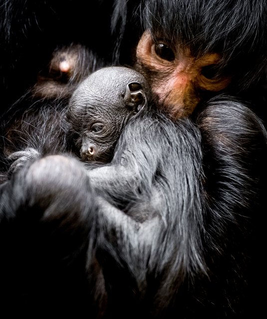 A picture taken on March 16, 2018 shows a newborn black spider monkey at the Artis Zoo in Amsterdam. The young was born on 13 March, its gender is still unknow. (Photo by Koen van Weel/AFP Photo/ANP)