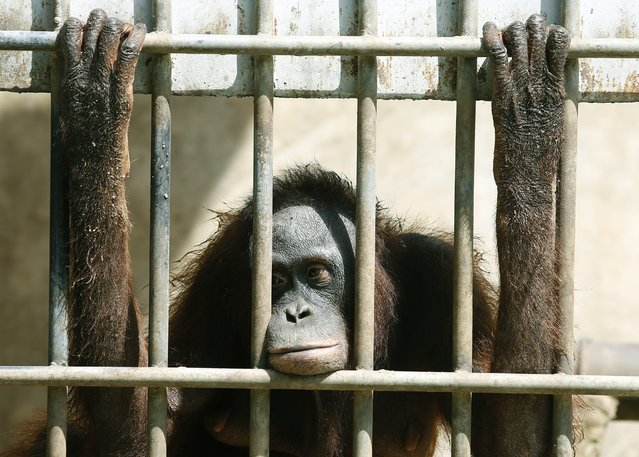 A confiscated female orangutan smuggled from Indonesia looks out from a cage before being sent back home to Indonesia, at Khao Pratupchang Wildlife Breeding Center in Ratchaburi province, Thailand, 11 November 2015. According to media reports, Thailand will return fourteen smuggled orangutans to Indonesia on 12 November, after Thai authorities found them in 2010 by a roadside in Phuket province, apparently on their way to a private zoo. (Photo by Narong Sangnak/EPA)