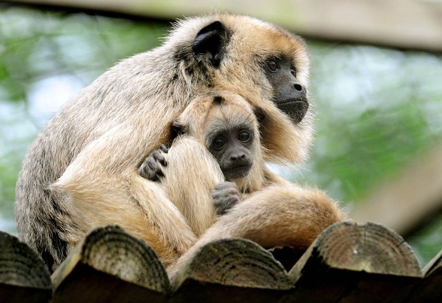 Twelve week-old Black and Gold Howler monkey, Donatello with its mother Lottie at Twycross Zoo, Warwickshire, on May 22, 2013. Donatello is the latest addition to Twycross Zoo's large family group of Howlers.  (Photo by Rui Vieira/PA Wire)