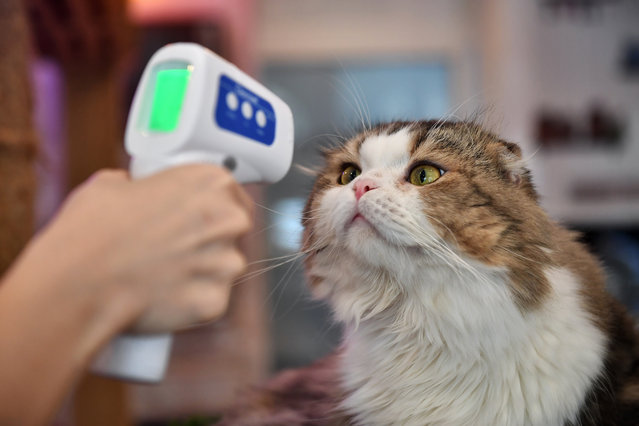 An employee takes the temperature of a cat at the re-opened Caturday Cat Cafe, which had been temporarily shuttered due to concerns about the spread of the COVID-19 novel coronavirus, in Bangkok on May 8, 2020. (Photo by Lillian Suwanrumpha/AFP Photo)