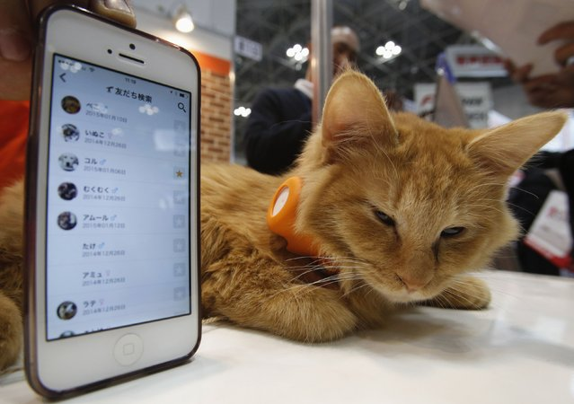 "A cat wears a ""Tsunagaru Col"" gadget next to a smart phone displaying the connected app, at the Anicall Corp booth during the Wearable Device Technology Expo in Tokyo January 14, 2015. (Photo by Yuya Shino/Reuters)"