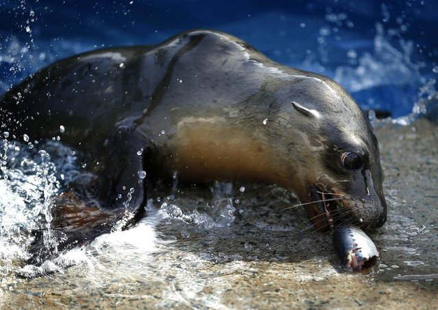 A rescued California sea lion pup enjoys a fish during feeding time at Sea World San Diego in San Diego, California January 28, 2015. (Photo by Mike Blake/Reuters)