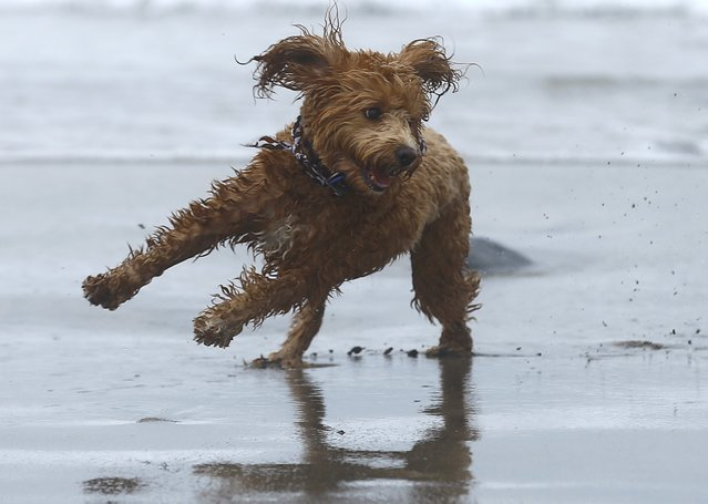 A miniature Labradoodle dog plays in the sand and surf  in Del Mar, California February 3, 2015. (Photo by Mike Blake/Reuters)