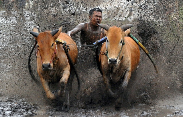 A jockey spurs his cows during Pacu Jawi practice in Tanah Datar, West Sumatra Province, Indonesia on March 13, 2021. (Photo by Iggoy el Fitra/Antara Foto via Reuters)