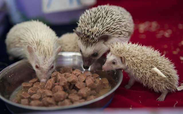 Parent hedgehogs Maria, left, and Gosha, 2nd right, eat with their albino babies in a private Zoo in Moscow, Russia, Thursday, August 22, 2013. Three rare albino hedgehog babies, born on the same day as Britain's new prince, have moved into a miniature castle at a Moscow petting zoo. The three are named after the Prince of Cambridge – George, Alexander and Louis. On Thursday, when they turned one month old, they were shown their new home at the All-Russia Exhibition Center. (Photo by Alexander Zemlianichenko Jr./AP Photo)