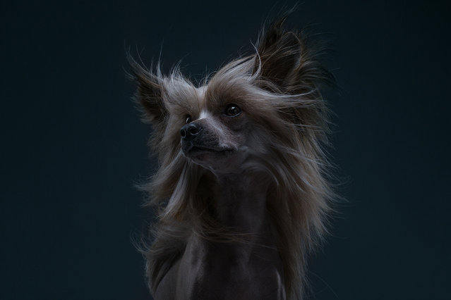 "Through their works, the two look to capture ""emotional and quirky"" portraits of each breed. (Photo by Alexander Khokhlov/Veronica Ershova/Caters News Agency)"