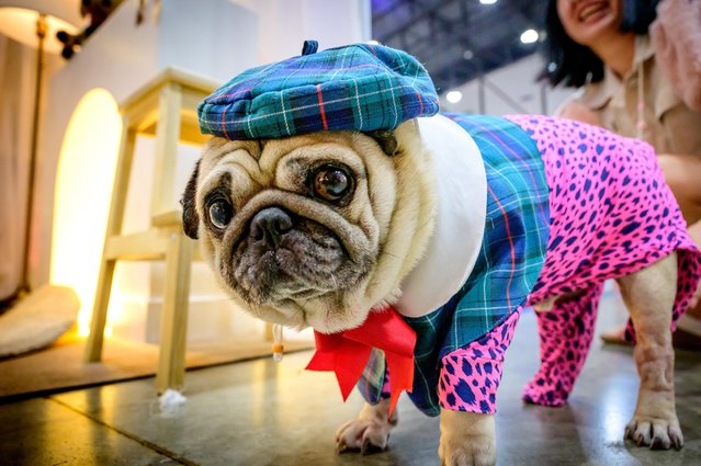 A French bulldog dressed in tartan stands in front of a stand at the 10th Thailand international Pet Variety Exhibition in Bangkok on March 26, 2021. (Photo by Mladen Antonov/AFP Photo)