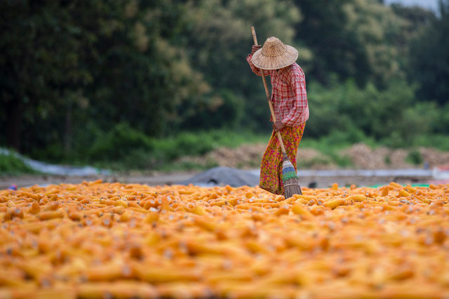 A Myanmar worker prepares corn for drying in a field during the harvest in Naypyitaw, Myanmar, 23 August 2018. (Photo by Hein Htet/EPA/EFE)