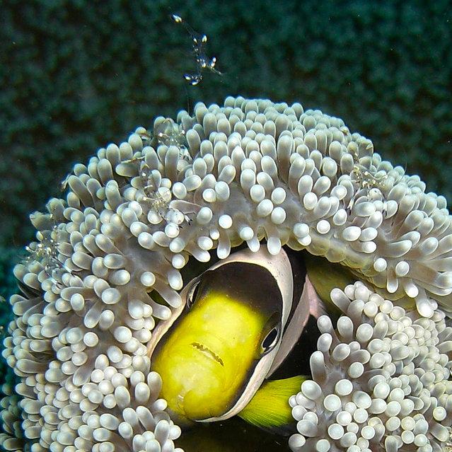 """Shrimp Attack! Hide!!"" (Photo by David M. Hogan)"