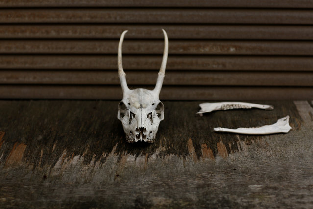 Deer bones are seen in a shed in Oi, Fukui Prefecture, Japan, November 17, 2016. (Photo by Thomas Peter/Reuters)