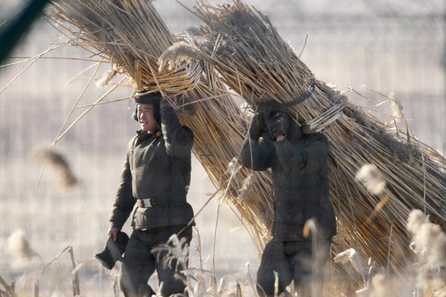 North Korean collect straws on the Hwanggumpyong Island, located in the middle of the Yalu River, near the North Korean town of Sinuiju, opposite the Chinese border city of Dandong, January 10, 2016. (Photo by Jacky Chen/Reuters)