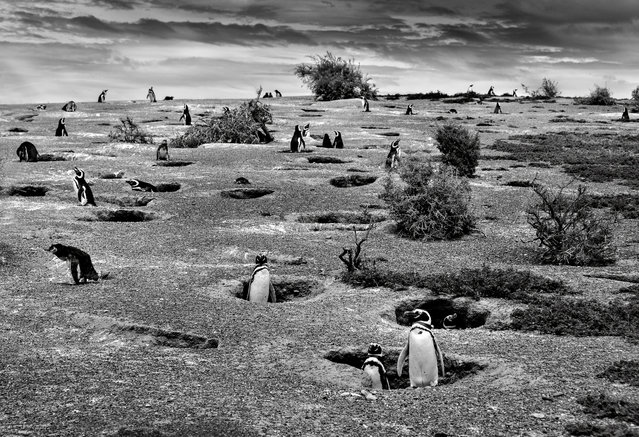 Christian Massari, Italy. Shortlisted, Open Competition, Nature and Wild Life. Penguin chicks in Argentina are dying as a direct consequence of climate change, according to new research. The picture shows the large colony of Magellan Penguins in Punta Tombo peninsula in Chubut Province, Argentina. The colony is the largest in South America and stay at the site until April, incubating their eggs, raising their chicks, and preparing for migration to south Brazil. (Photo by Christian Massari/Sony World Photography Awards)