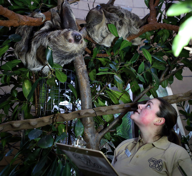 Lucy Edwards lead keeper of Chester Zoo staff, counts the sloth during an annual stocktake at Chester Zoo, Chester, on January 2, 2013. (Photo by Peter Byrne/PA Wire)