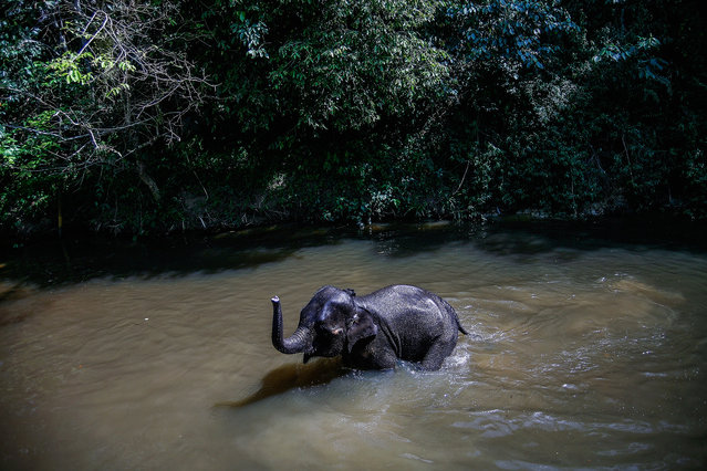 An Elephant is seen swimming in a river near the National Elephant Conservation Centre on March 1, 2016 in Kuala Gandah, Malaysia. Almost 1,200 wild Asian Elephants, also known as Elephus Maximus, are left in Malaysia and this is the only conservation centre set up to relocate these displaced pachyderms. The elephants here have been rescued from all over Peninsula Malaysia, providing them a safe sanctuary in the wild, according to World Wildlife Foundation, the increasing human population in Asia has affected the elephant's dense, but diminishing forest habitat. (Photo by Mohd Samsul Mohd Said/Getty Images)