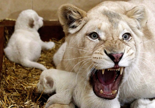 White lioness Azira lies in the cage with her three white cubs, on February 4, 2014. Zoo owner Andrzej Pabich says white lions often have defects that prevent giving birth, or the mother rejects her cubs, but Azira has been patiently feeding and caring for her little ones. (Photo by Czarek Sokolowski/Associated Press)