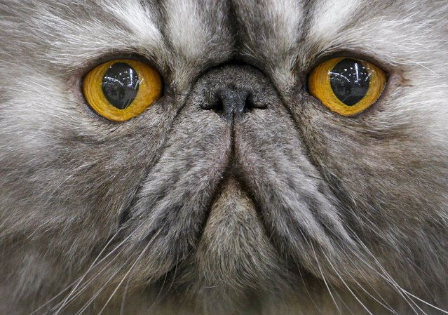 A Persian cat is seen during the Mediterranean Winner 2016 cat show in Rome, Italy, April 3, 2016. (Photo by Max Rossi/Reuters)
