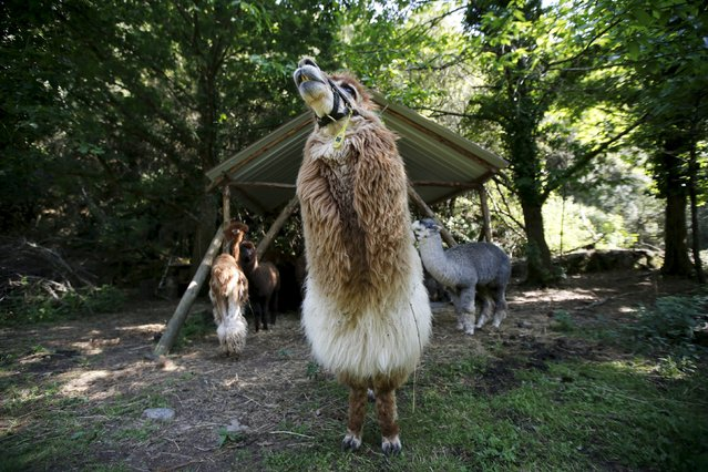 Alpacas of Lisa Vella-Gatt (not pictured) are seen at her farm near Benfeita, Portugal May 11, 2015. (Photo by Rafael Marchante/Reuters)