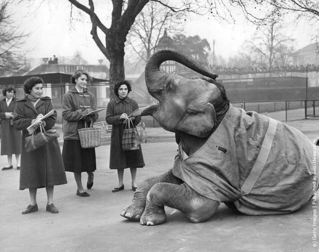 1954: Visitors in the elephant enclosure at London Zoo, Regents Park draw the reclining elephant