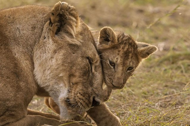 A lioness and her cub. (Photo by Manoj Shah/Ardea Wildlife Pets Environment/Caters News)