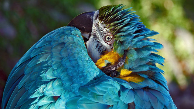 """Absolute Head Scratcher"" is an image of a blue macaw. Quebec City, Canada. (Photo by Richard Masters/Smithsonian.com)"