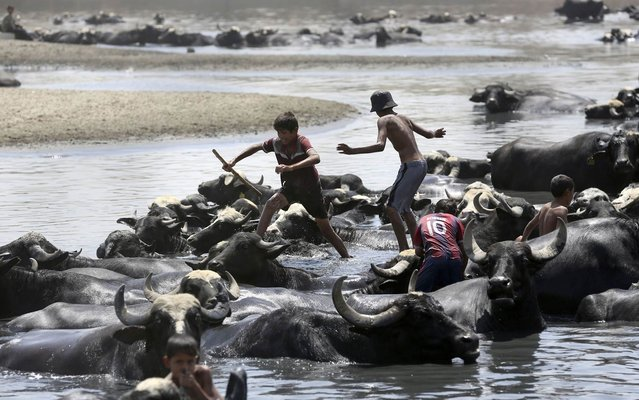 Children swim and wash water buffalo in the Diyala River in Baghdad, Iraq, Monday, July 6, 2015. (Photo by Hadi Mizban/AP Photo)