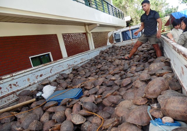 A handout photo released by the NGO Katala Foundation Incorporated (KFI) on 16 July 2015 shows a Filipino staff member assess the arrival of thousand seized pond turtles on top of a truck prior to unloading at a government facility in Puerto Princesa in the island of Palawan, western Philippines. (Photo by EPA/Katala Foundation Incorporated)