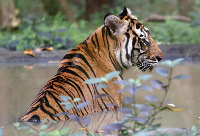 A tiger sits in the water inside an enclosure at Phnom Tamao Wildlife Rescue Center in Ba Ti District, Takeo province, Cambodia,​ 23 October 2019. (Photo by Kith Serey/EPA/EFE)