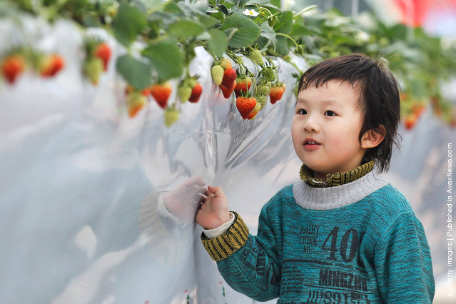 A little boy looks at fresh strawberries at the 7th International Strawberry Symposium in Beijing