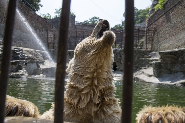 Cezar, a 32 year-old polar bear cools off in its enclosure in Belgrade's zoo, Serbia, July 20, 2015. (Photo by Marko Djurica/Reuters)