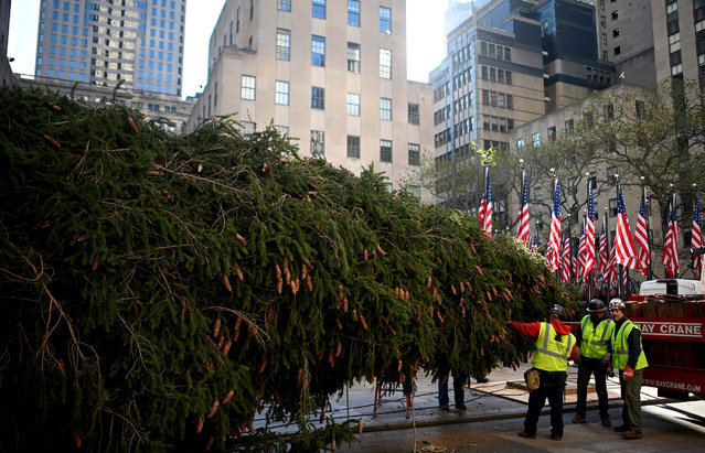 Workers raise the Rockefeller Center Christmas Tree in front of the Rockefeller Center in New York City on November 9, 2019. The 77-foot tall tree is from the village of Florida in Orange County, New York. (Photo by Johannes Eisele/AFP Photo)